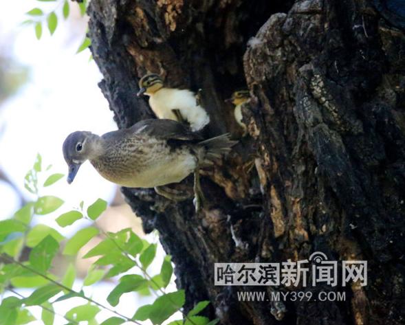 哈尔滨兆麟公园爱撒娇的小鸳鸯让妈妈背着跳巢