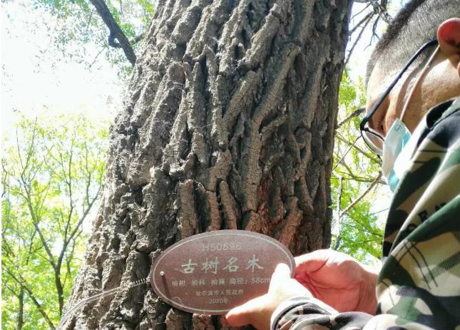 冰城4000棵古树挂牌保护 认准树上这个牌子