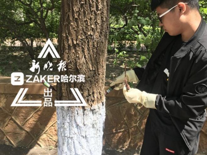 六个公园数十条街路杨柳树打针治飞絮 明年将见效