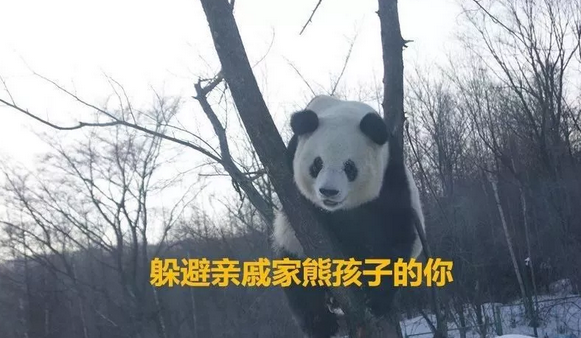 春节在家的你和哈市这俩熊猫一样