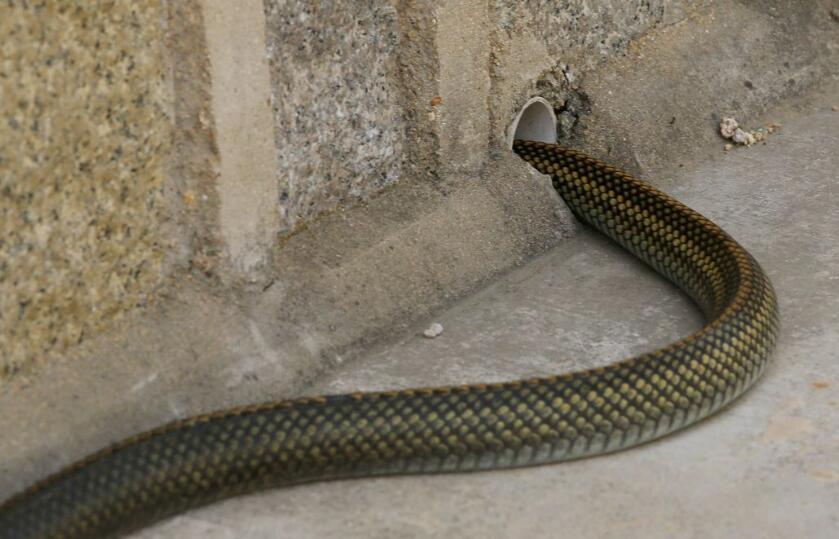 女子半夜脚踝冰凉被惊醒 发现一条蛇盘在床尾