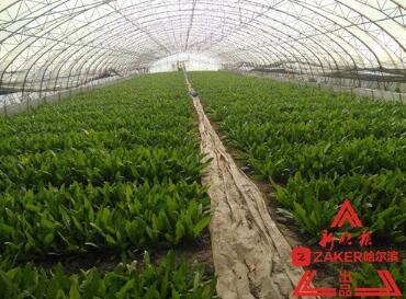 冰城最后一茬地产大棚蔬菜已上市 可吃到下月中旬