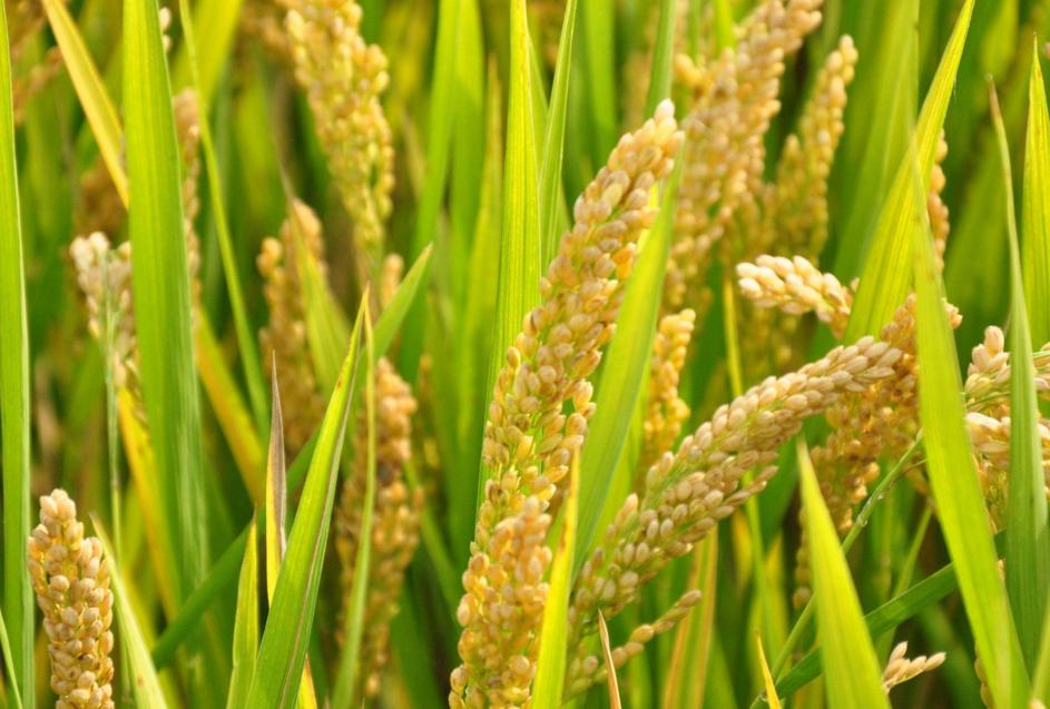 水稻最低收购价政策已定 黑龙江三等水稻每公斤2.6元