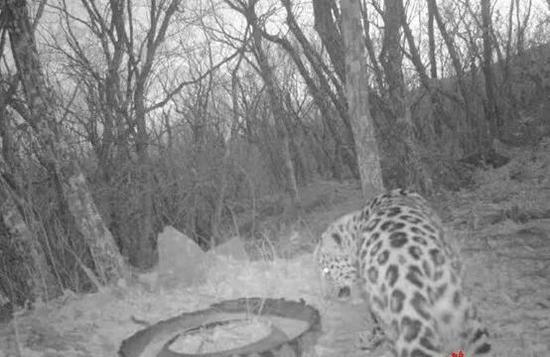 野生东北豹在补饲点周围徘徊