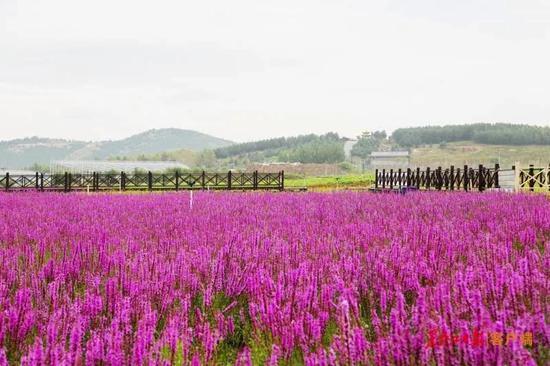 打卡龙江花海 双鸭山市四方台区紫云岭百亩鲜花散清香