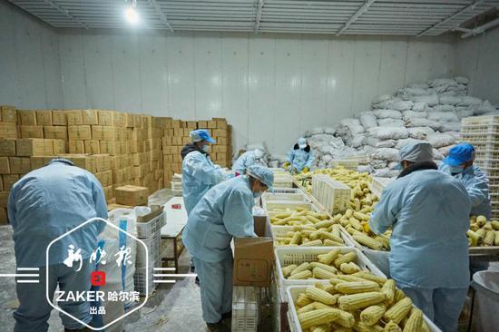 五常黏玉米国内外畅销 带动数百户农民致富奔小康