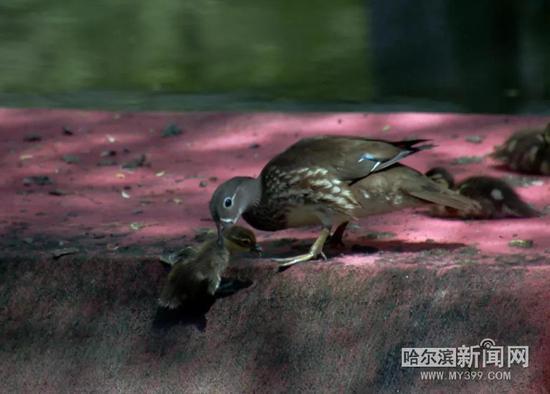 好在有惊无险,这两只小鸳鸯最后都得以逃脱。