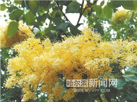 丁香黄色小�_\