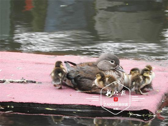 傍晚,鸳鸯妈妈果然来到小鸳鸯身旁,宠溺地将孩子都拢在身下。