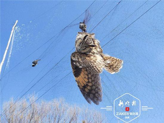 林中布网猎捕猫头鹰等28只鸟 延寿一村民非法狩猎被抓