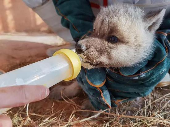 哈尔滨极地馆首例繁育成功的北极狼三胞胎满月啦!