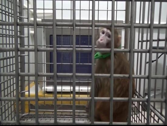 转基因猴 中科院昆明动物所供图