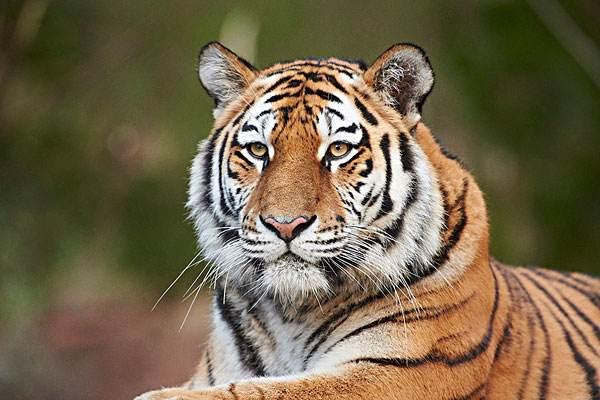 大发6合省加强东北虎豹等野生动物及其栖息地保护