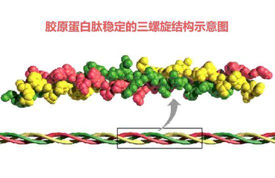氨基酸肽链接,那么这种特殊氨基酸序列构成了胶原蛋白稳定三螺旋结构.