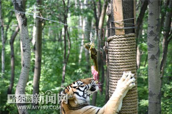 哈尔滨北方森林动物园动物大巡游 天天都表演