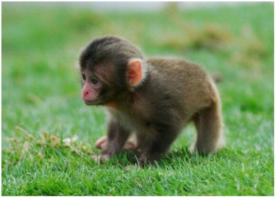 我想买一只猴子多少钱哪里有卖宠物小猴子的家养猴子普通猴子一只多少