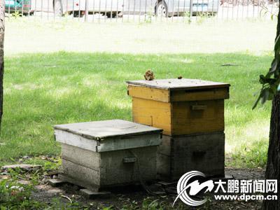 小区里养蜜蜂 安全隐患太多将对其蜂箱进行取缔