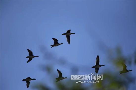 小鸳鸯集体飞上蓝天。 董运隆摄