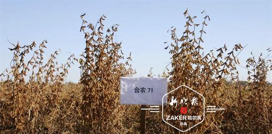 """黑龙江大豆创国产新纪录:""""合农71""""亩产447.47公斤"""