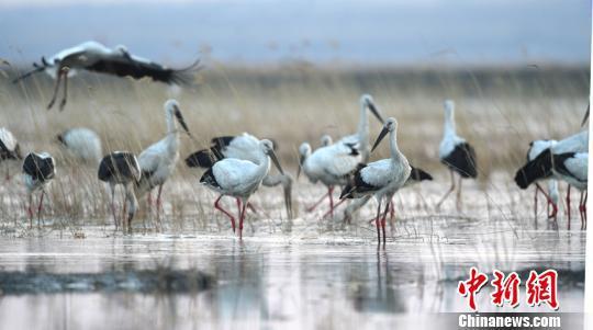 东方白鹳临水站立,与湿地风光构成了一幅美丽的画卷。 赵俊 摄
