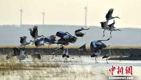 东方白鹳在吉林波罗湖国家级自然保护区展翅飞翔。 赵俊 摄