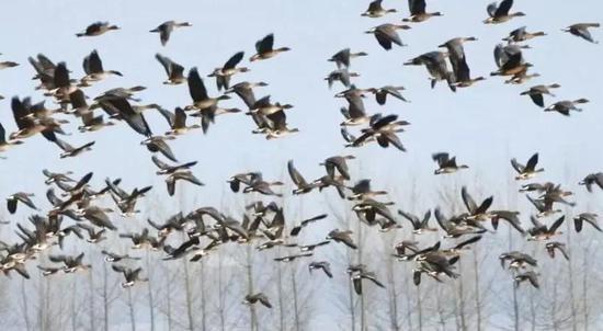 壯觀!上萬只大雁北歸 牡丹江畔鳥羽翩翩