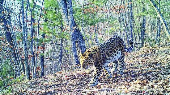东北虎豹国家公园试点区 三年监测到新增幼虎10只