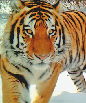 穆棱局红外监测相机拍到的野生东北虎。 本报资料片