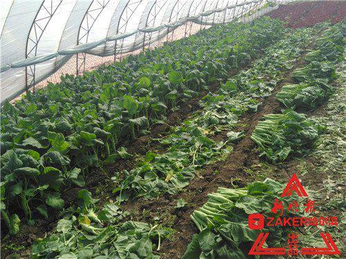 还有的大棚里菜已收割完,菜农们正在忙着施农家肥、翻地,为明年做准备了。
