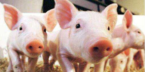 黑龙江全年可外销猪肉30万吨 生猪产能将在11月后开始释放