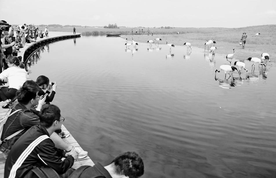 上午10时,40只丹顶鹤在扎龙腾空而起,将当天的主题纪念活动推向高潮。 本报记者荆天旭摄