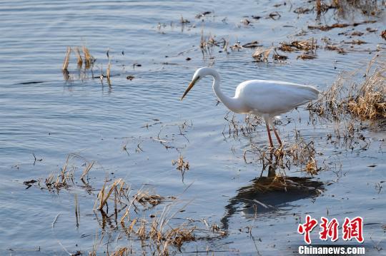 开湖的兴凯湖是候鸟的食物来源 孙云阁 摄