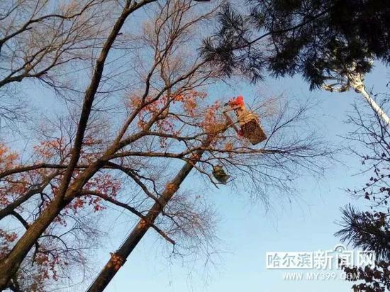 """雪博会将现""""白雪红枫""""景观 太阳岛大树正在安枫叶"""