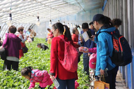 市民在大棚里摘草莓。