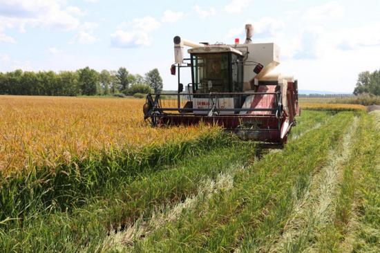 八五三分公司十一区水稻收获喜开第一镰