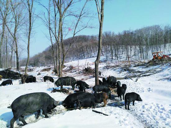 之前养猪场的猪图片由张艳秋提供