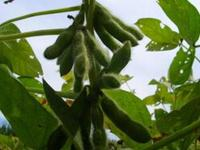 谭志娟:建立龙江绿色非转基因大豆保护区