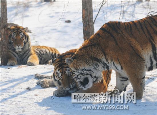 虎林园预计今年100只小老虎降生
