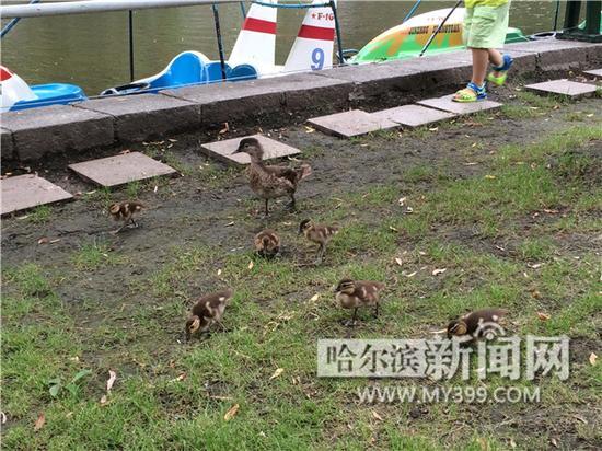 兆麟公园今年跳巢的小鸳鸯。