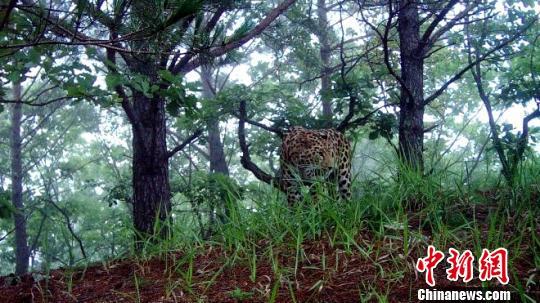布设的红外相机拍摄到清晰的东北豹图像。 黑龙江林业厅提供。 摄