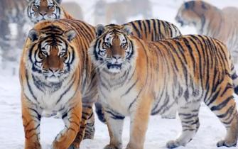 哈尔滨东北虎胖得不像样儿了
