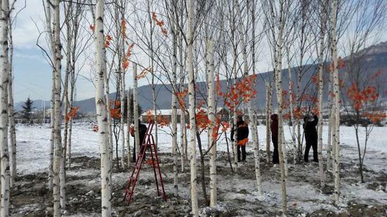 局团委和小白林场制作的白桦红叶林