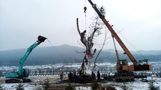 """山中枯树入园来,植入熊馆做""""天仓"""""""