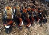 佳木斯桦南7只鸳鸯被毒死 嫌疑人:当成了野鸭子