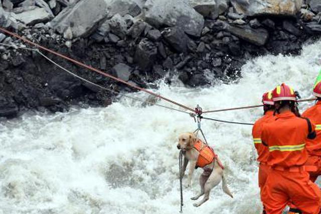 11岁搜救犬退伍后重返茂县救援 相当于人类77岁