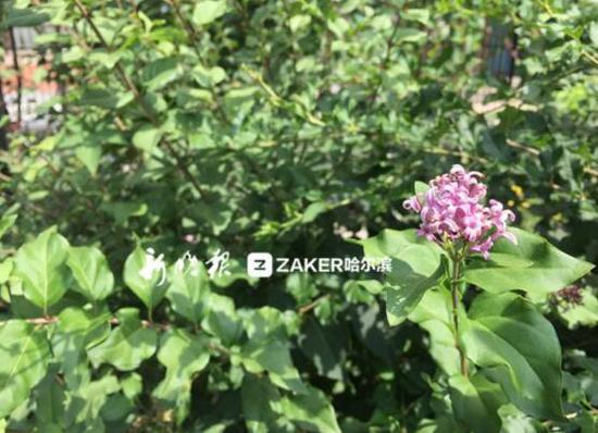 河松街上的丁香花
