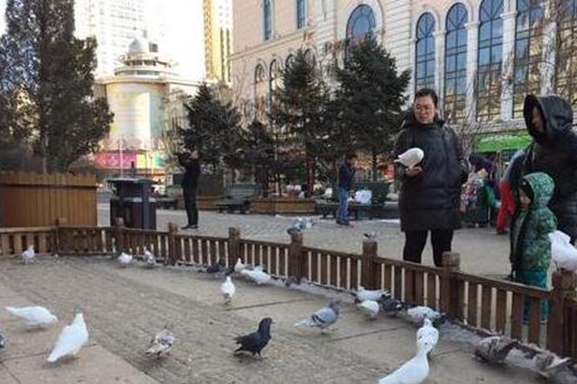 身世大揭秘:广场鸽扮美冰城20年 猜猜最早落户在哪