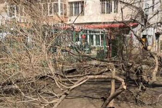 哈市曲线街8棵3米多高丁香树被砍 园林部门已报警