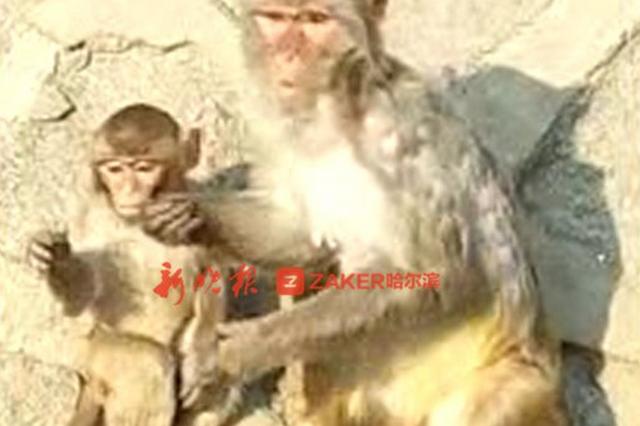 北方森林动物园有个吃货猴妈 小猴抢不到想吃的花生