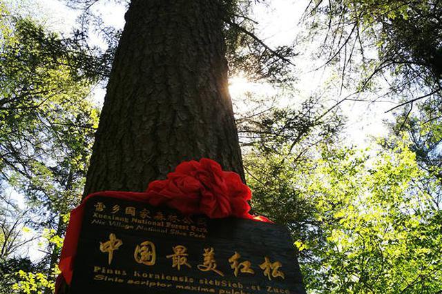 """600岁红松被评""""中国最美"""" 它的邻居们有的1000多岁"""
